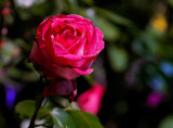 One rose does not make a summer....