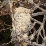 Cradle Mountain Lake St Clair National Park - Lichen