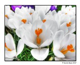 Focus On A Crocus
