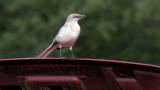 Bird at the Car Show