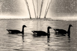 Geese and Fountain