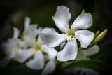 White Oleander 2018 1.jpg