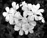 BW Blossoms.jpg