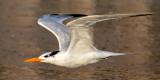 One Tern.jpg