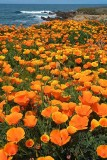 Bluff Poppies (Up to 20X30)