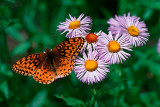 Butterfly on Asters (Up to 12X18)