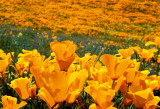California Poppies (Up to 12X18)