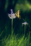 Swallowtail on Iris (Up to 12X18)