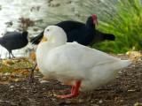 A quacker, Dusky Moorhen &  Eurasian Coot