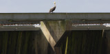 Brown Pelican  sits atop the Spillway Structure
