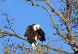 Eagle in the setting sun