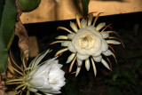 Night Blooming Cereus Near Midnight