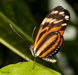 Tiger Heliconian or Tiger-Striped Longwing