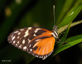 Heart-spotted Heliconian