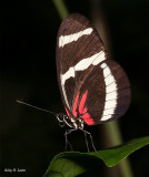 Hewitson's Heliconian