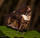 Marbled Leafwing
