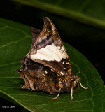 Another Marbled Leafwing