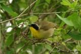 Paruline masquée (Common Yellowthroat)