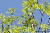 Paruline des prés (Prairie Warbler)