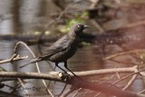 Quiscale rouilleux (Rusty Blackbird)