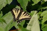 Papillon tigrée du Canada - Papilio canadensis