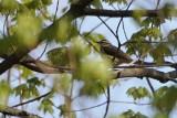 Paruline hochequeue (Louisiana Waterthrush)