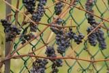 Vigne sauvage
