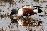 Shoveler Shoveling It In