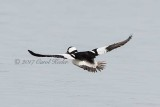 Gallery:Buffleheads