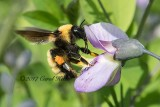 Yellow Bumble Bee- Fang