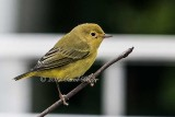 Gallery:Perching Birds, Passerines