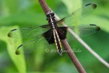 Gallery:Insects,Butterflies, Dragonflies, Damselflies, Bees, Spiders