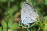 Female Eastern Tailed Blue