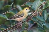 Juvenile_Bay_Breasted_Warbler