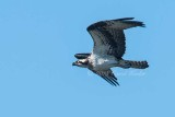 Osprey_in_a_Hurry