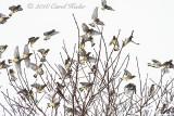 Cedar Waxwing Invasion