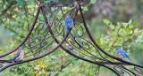 Eastern Bluebird Trio
