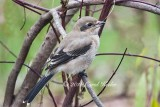 Juvenile Northern Shrike