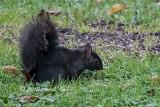My Yard's First Black Squirrel