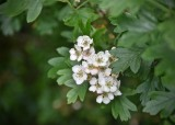 Hawthorn or May Flower