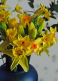 Who needs red roses when you can have daffs?