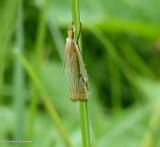 Pasture grass-veneer  (Crambus saltuellus), #5363