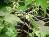 Garter Snake (Hamnophis sirtalis)