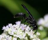 Great black digger wasp  (Sphex pensylvanicus)