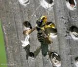 Leafcutter bee (Megachile pugnata)