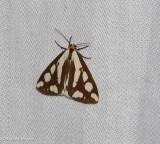 Confused haploa moth (Haploa confusa)  #8112