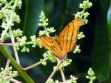 Ruddy Daggerwing (Marpesia petreus)