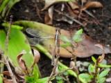Probable Reddish Dragonlet (Erythrodiplax famula)