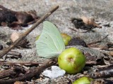 White Angled Sulphur (Anteos clorinde)