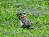 Rufous-naped Wren gathering nesting material